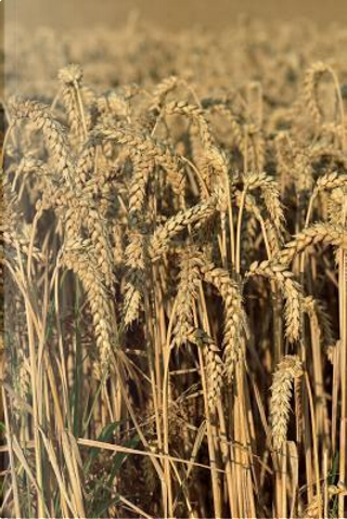 Wheat Ready to be Harvested Journal by Pen2 Paper