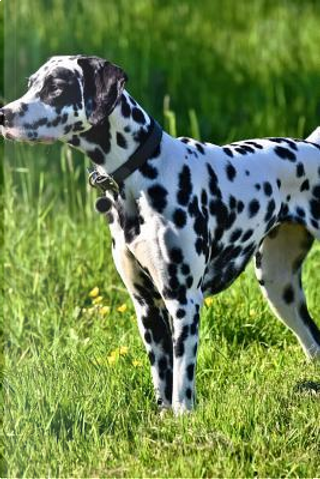 Dalmation Dog on the Hunt in the Grass Journal by Dog Lovers Journal