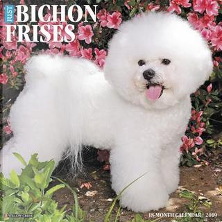 Just Bichons Frises 2019 Calendar by Willow Creek Press