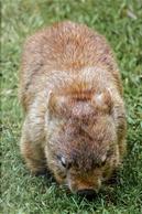 An Australian Wombat Journal by CS Creations