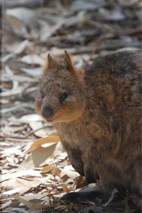 Cute Little Quokka in the Australia Outback Journal by Animal Lovers Journal