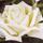 rosepolari